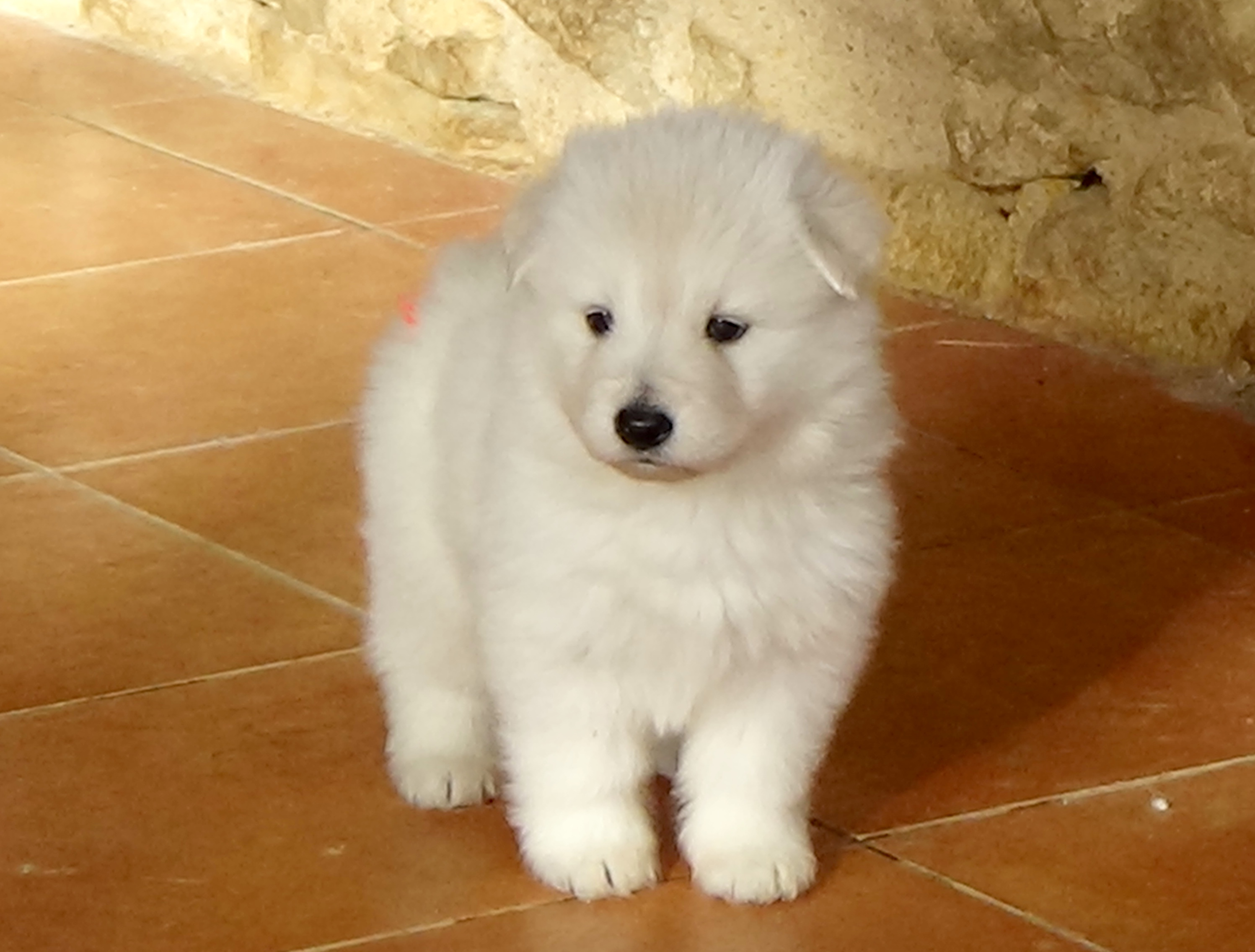 Trebons Kennel Berger Blanc Suisse Our Kennel